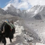 Yak above base camp